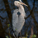 Great Blue Heron - Nisqually Wildlife Refuge near Olympia, Wa. Taken in 2010.