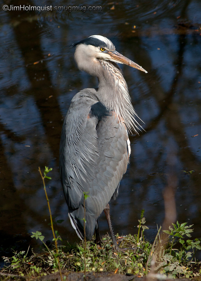 Great Blue Heron - Nisqually Wildlife Refuge near Olympia, Wa. Taken in 2010.