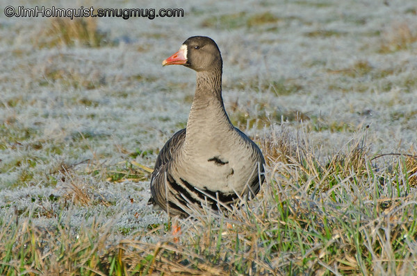 Greater White-Fronted Goose - on a frosty morning near Olympia, Wa.