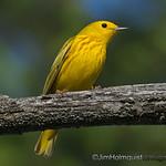 Yellow Warbler male - near Olympia, Wa.