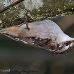 Brown Creeper - crawling along the bottom of a branch looking for insects. Near Olympia, Wa.<br />  <br /> I really appreciate all the interest on my Red-Tailed Hawk shot yesterday. Thank you for all the nice comments. It means a lot to me!