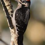 Downy Woodpecker - taken near Olympia, Wa.