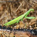 Praying Mantis - at Mima Mounds near Olympia, Wa. Taken in 2012.