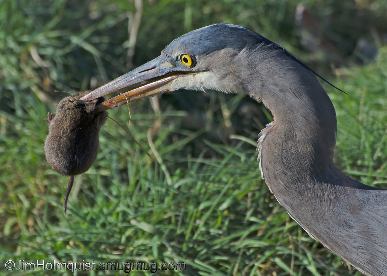 """V"" is for Vole, Vermin, Varmint and Voracious large bird<br /> <br /> I watched this strolling Great Blue Heron stop and look at the grass then suddenly he pulled out this Vole. I will post the shot of him being swallowed in the near future."