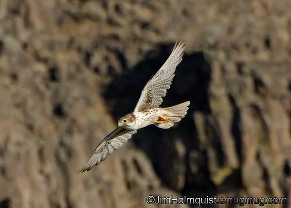 Prairie Falcon - in Snake River Birds of Prey area near Kuna, Id. Taken in June.
