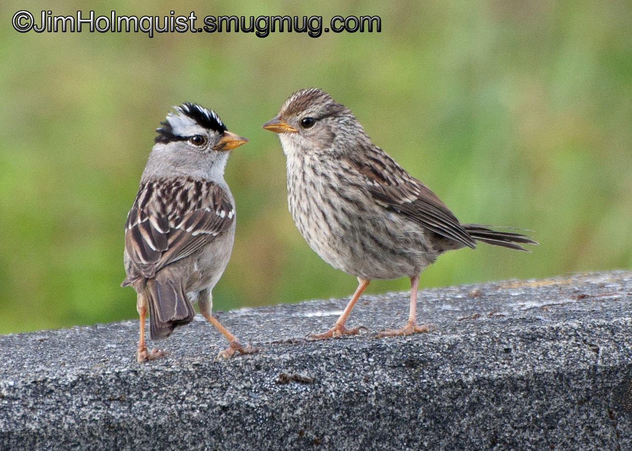 White-crowned Sparrow - Mom and Juvenile near Olympia, Wa. Taken in 2011.<br /> <br /> I probably won't be able to post regularly this week.