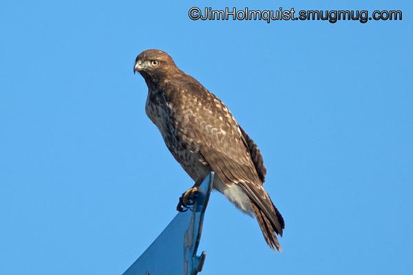Immature Red-tailed Hawk - on a weather vane near Olympia, Wa.