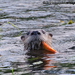 River Otter - with a juicey fish. Taken in 2012.