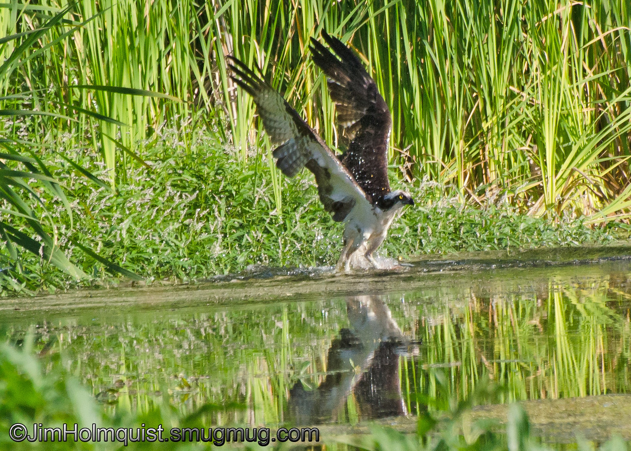 Osprey - catching a fish near Olympia, Wa. Taken in 2012.
