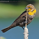 Yellow-headed Blackbird - near Idaho Falls, ID. Taken in June.