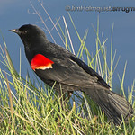 Red-Winged Blackbird - taken near Olympia, Wa.