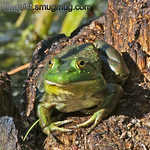 Bullfrog - taken near Olympia, Wa.