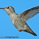 Anna's Hummingbird - near Olympia, Wa.