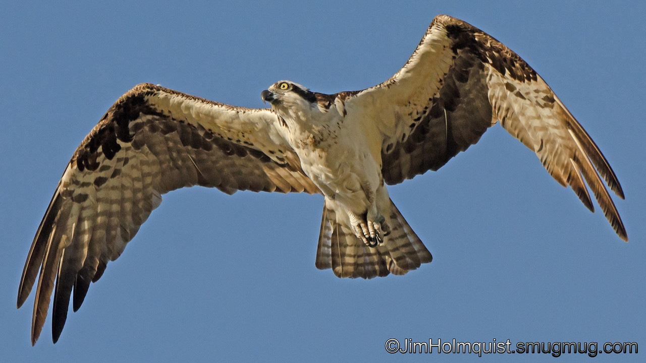 Osprey - near Idaho Falls, ID. Taken in June.