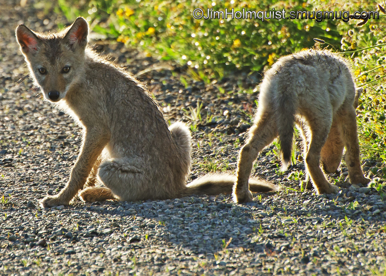 Coyote pups - Nisqually Wildlife Refuge near Olympia, Wa