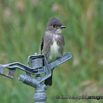 Two Birds<br /> <br /> Olive-Sided Flycatcher (or Western Pewee?) - Taken on a farm near Idaho Falls, Id. I'm not very happy with the sharpness of this shot but i liked the comp.