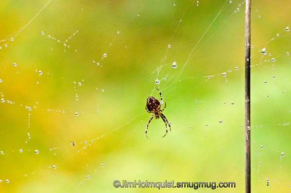 Spider and web - with droplets of water. Taken near Olympia, Wa.