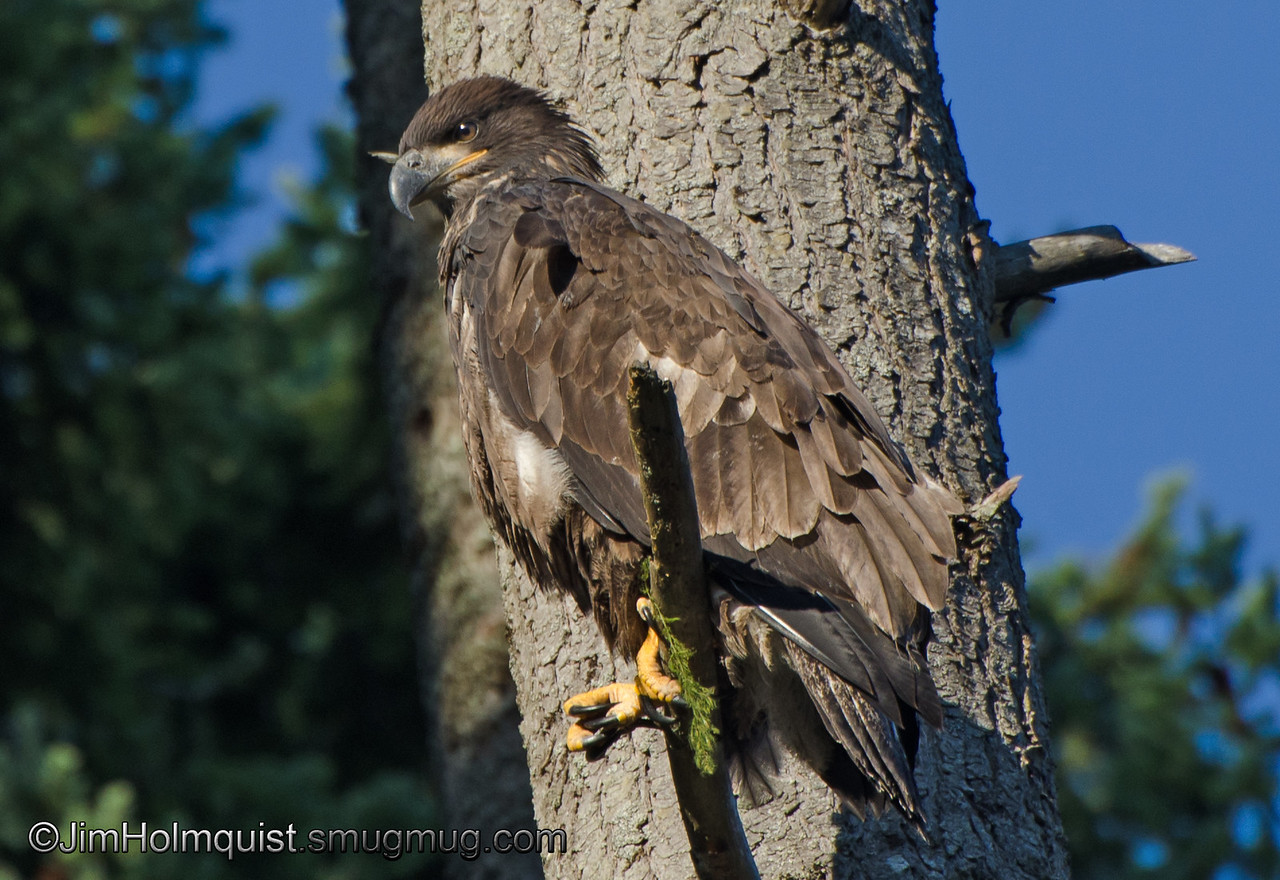 American Bald Eagle - fledgling near Olympia, Wa. Taken in 2012.