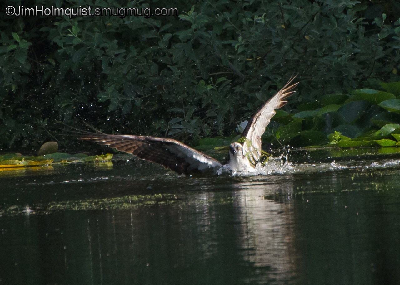 Osprey(4 of 6) - diving for a fish near Olympia, Wa.