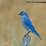 Male Mountain Bluebird - taken near Island Park, ID.<br /> <br /> I really appreciate the comments!