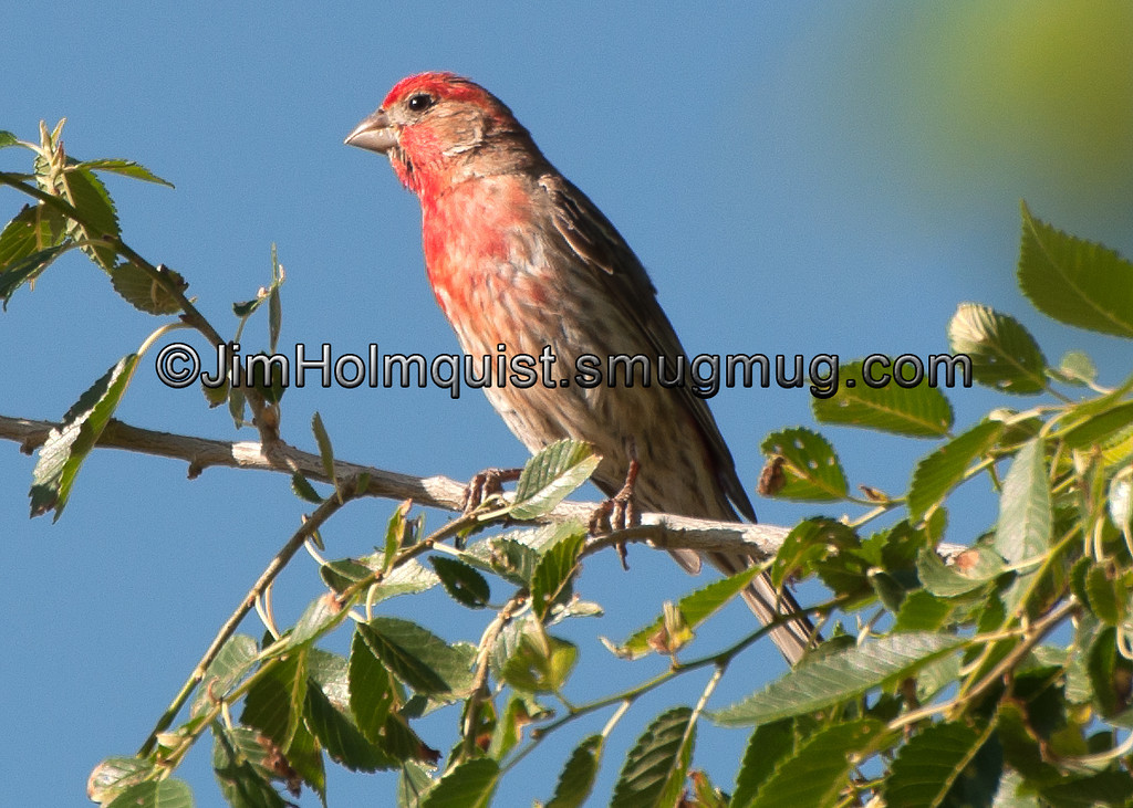 House Finch - near Kuna, Id
