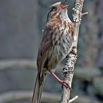 Song Sparrow - near Olympia, Wa.