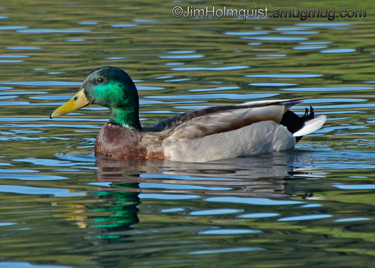 Mallard Duck - taken near Olympia, Wa.