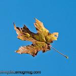 Falling Leaf -Taken near Olympia, Wa.