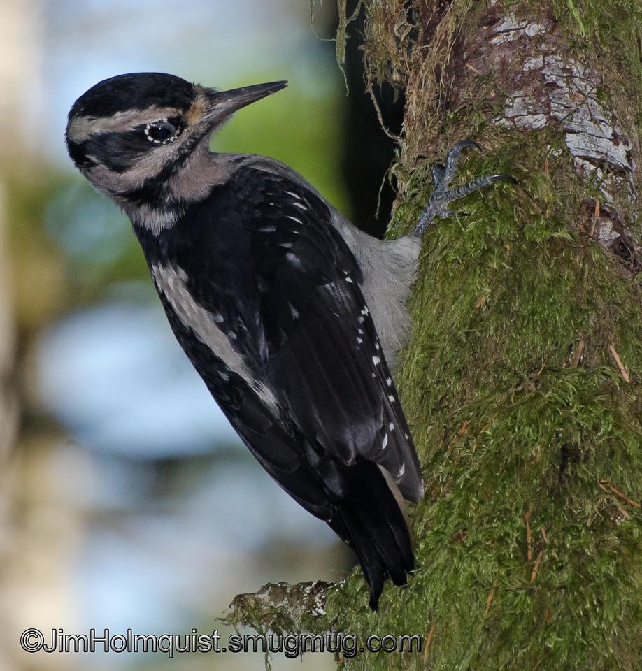 Female Hairy Woodpecker - taken at Mima Mounds near Olympia, Wa.