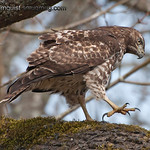 Red-Tailed Hawk - after a snack at Nisqually Wildlife Refuge near Olympia, Wa. Taken 2012. <br /> <br /> <br /> I appreciate the nice comments on my Hutton's Vireo songbird taken at Mima Mounds near Olympia, Wa! Thanks everyone<br /> <br /> Ilene,  i do see a lot of butterflies at Mima Mounds so I watch for opportunities to get a shot.