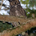 """O"" is for Owl<br /> <br /> Great-Horned Owl near Olympia, Wa."