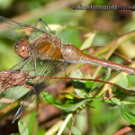 Dragonfly - I'm not sure of the species. Taken near Mima Mounds near Olympia, Wa.