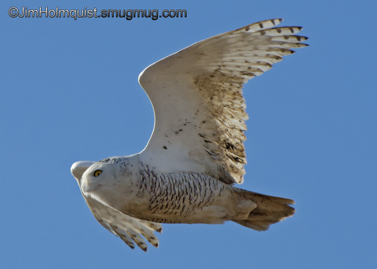 Snowy Owl - near Ocean Shores, Wa. Taken in January 2013.
