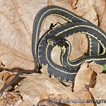 Common Garter Snake - basking in the sun near Olympia.