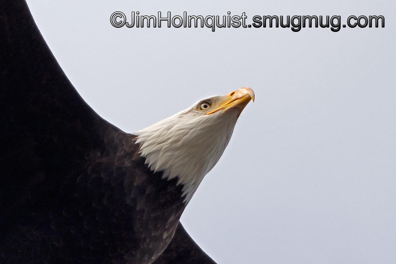 Bald Eagle - flyover near Olympia, Wa.<br /> <br /> I really appreciate the comments!