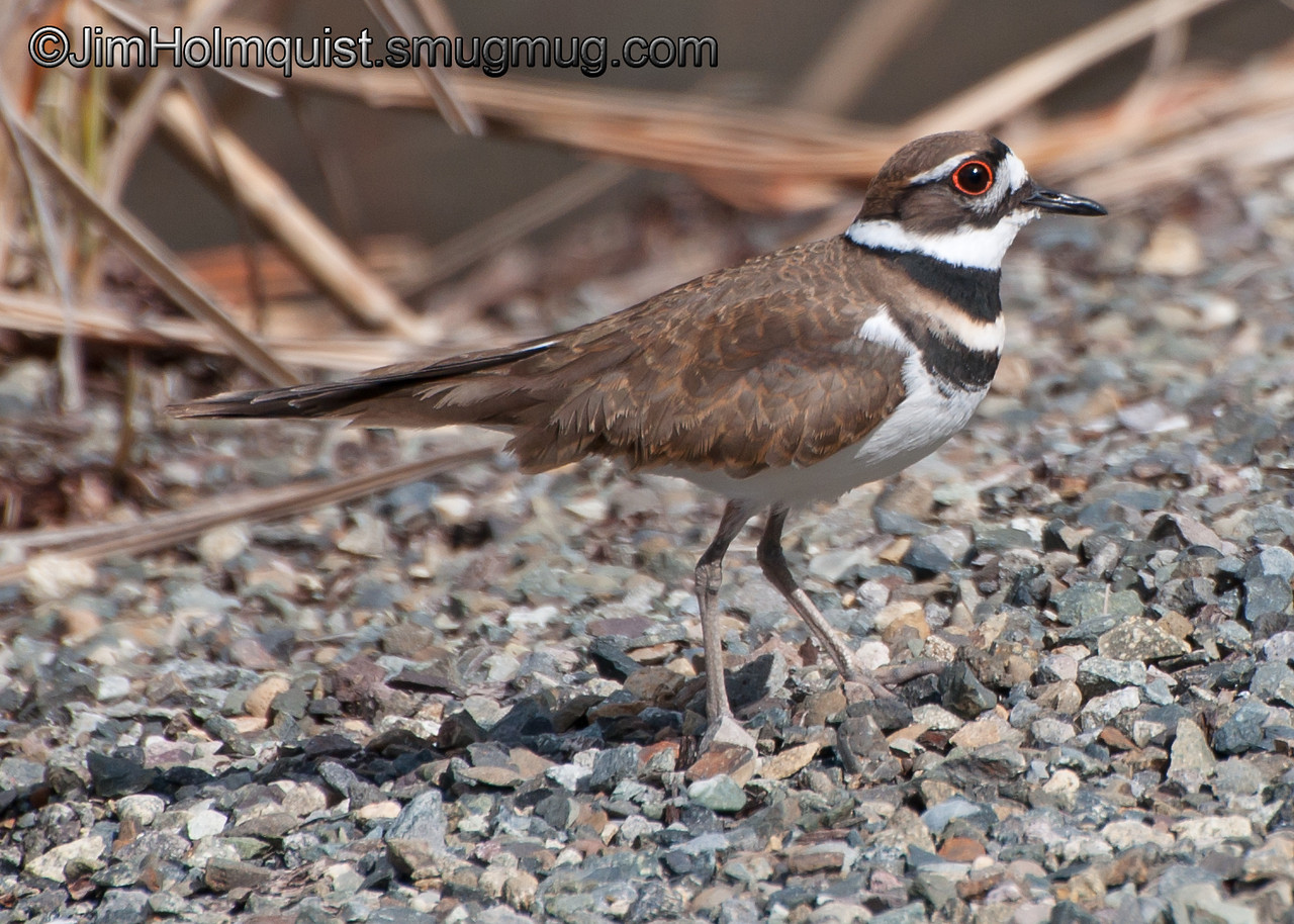 Killdeer - near Olympia, Wa
