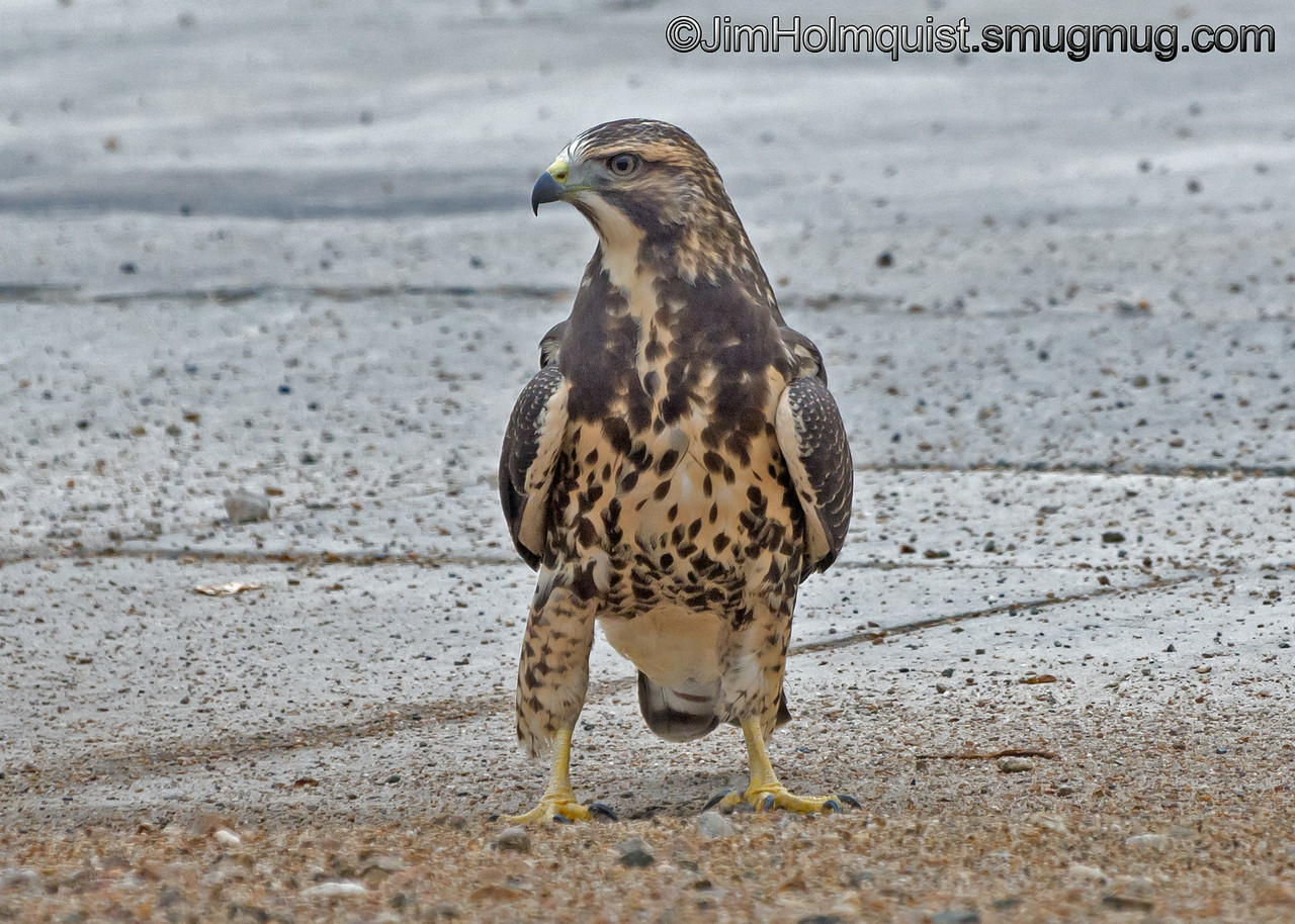 Young Swainson's Hawk - standing on a driveway near the sidewalk. He didn't seem to notice when I stopped across the street and took some shots. Taken in Kuna, ID.