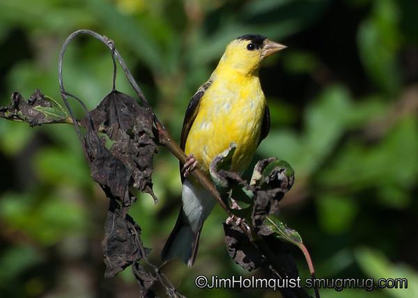 American Goldfinch - near Olympia, Wa. Taken in 2010.