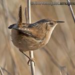 Marsh Wren - taken near Olympia, Wa.<br /> <br /> I appreciate the comments!