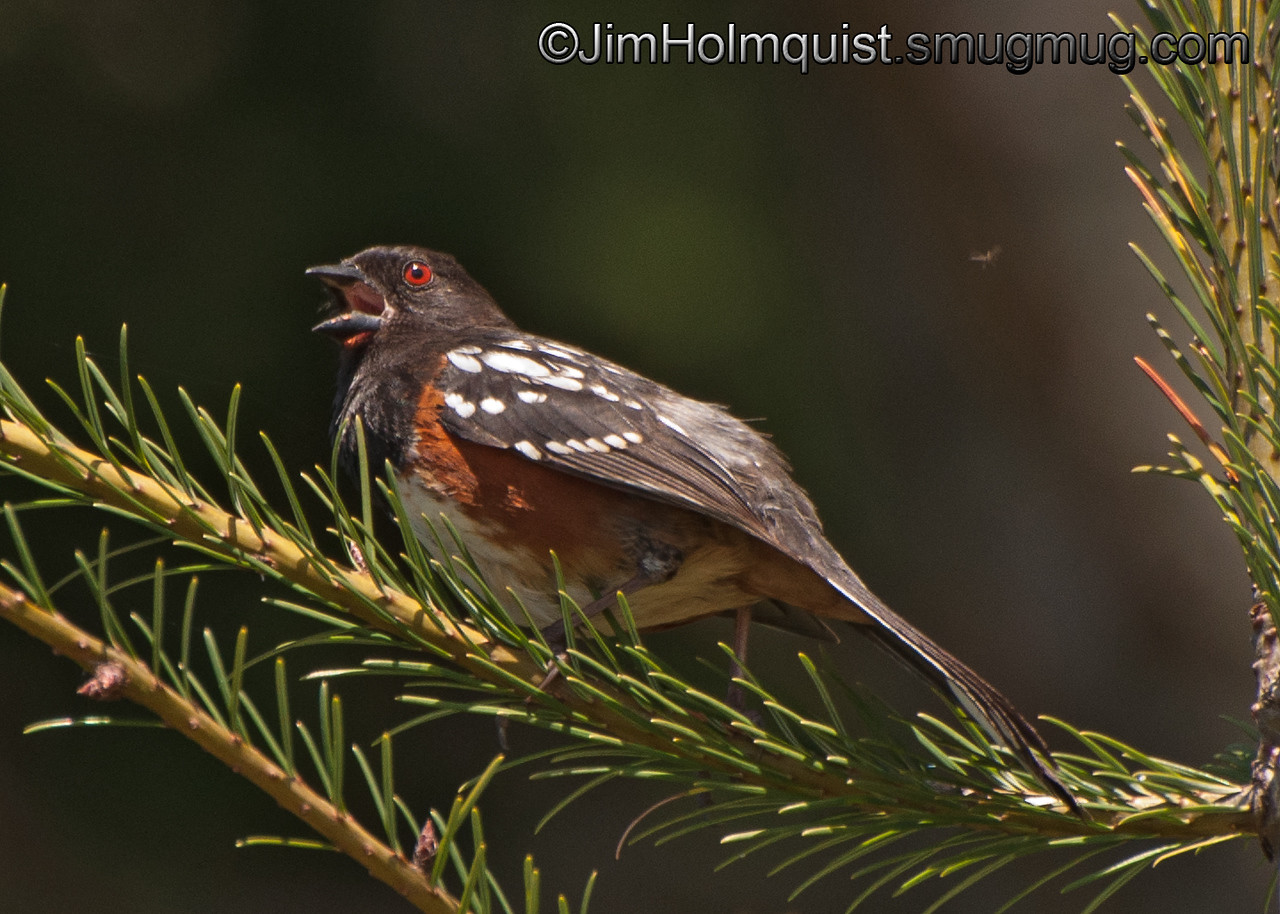 Western Spotted Towhee - near Olympia, Wa. Taken in 2012.