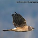 Northern Harrier - near Olympia, Wa.