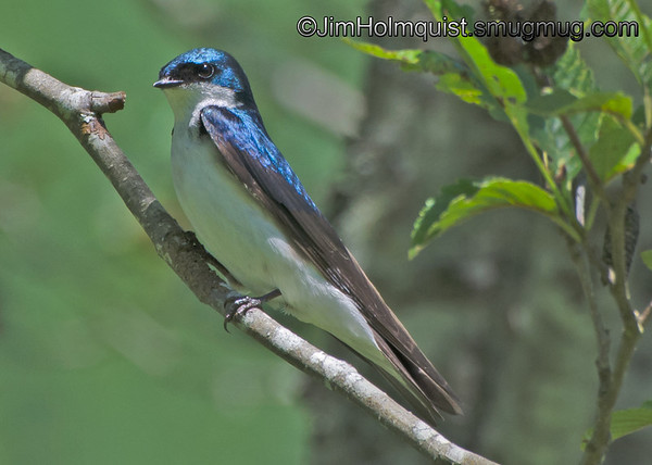 Tree Swallow - Skookumchuck wilderness area near Tenino , Wa. Taken in June.