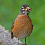 American Robin - with a juicy spider and worm.They frequently have a mouth full of goodies. Taken near Olympia, Wa.