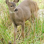 Young Black-Tailed Deer - Nisqually Wildlife Refuge near Olympia, Wa.