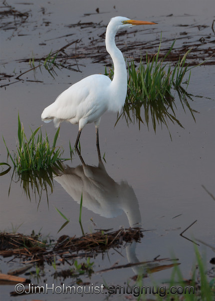 """G"" is for Great Egret <br /> <br /> <br />  Nisqually Wildlife Refuge near Olympia, Wa."