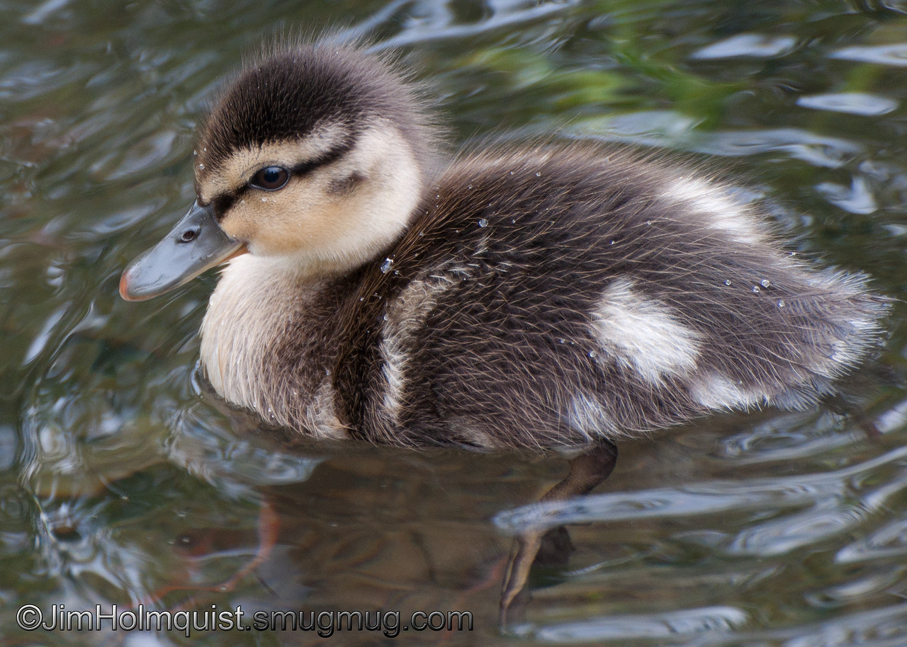 Mallard duckling - near Olympia, Wa. Taken in 2011.
