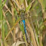 Green Darner Dragonfly - taken near Olympia, Wa.