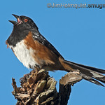 Western Spotted Towhee - singing in the sun.<br /> <br /> I went back to the same branch today to try get shot of the towhee singing without the tree trunk in the background. I setup with a better angle and was fortunate to get a better shot after awhile and I prefer this profile shot anyway. <br /> <br /> Thank for you for the very nice comments yesterday and previously about my pictures, I really appreciate it!
