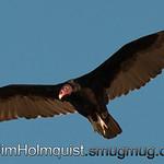 Turkey Vulture - Birds of Prey area near Kuna, Id
