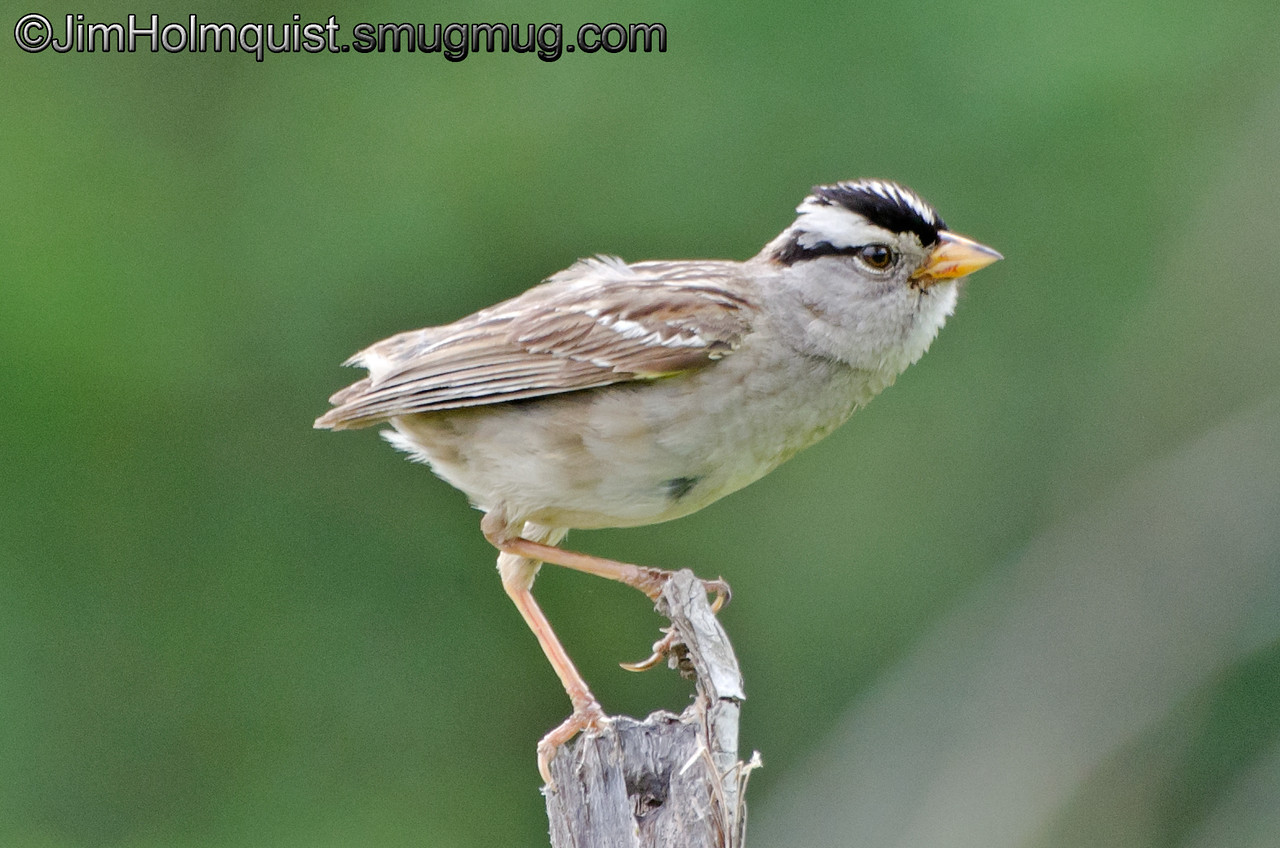 White-crowned Sparrow - Capital Forest near Olympia, Wa. Taken in July 2013.